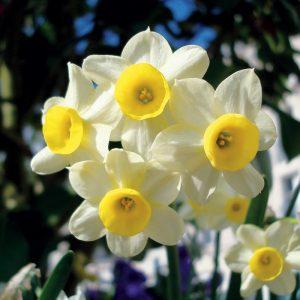 Narcisse Botanique Tazetta Minnow