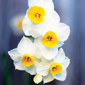 Narcisse Cyclamineus Canaliculatus