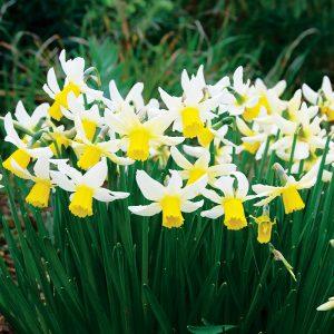 Narcisse Cyclamineus Jack Snipe