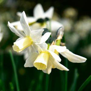 Narcisse Cyclamineus Toto