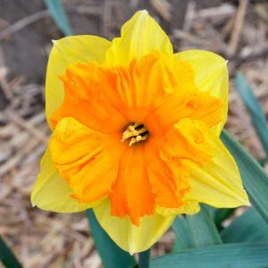 Narcisse Decasplit Mondragon