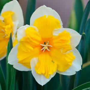 Narcisse Decasplit Orangery