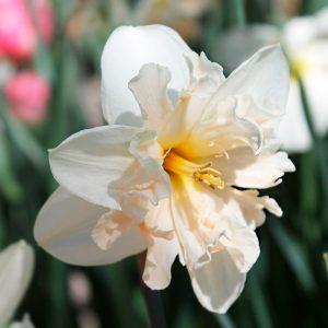 Narcisse Decasplit Palmares