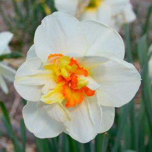 Narcisse Double Flower Drift