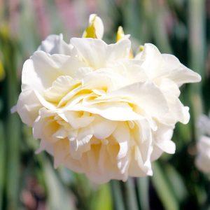 Narcisse Double Obdam