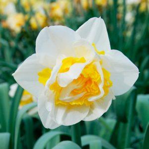 Narcisse Double Unique