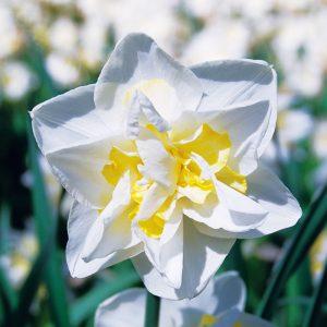 Narcisse Double White Lion