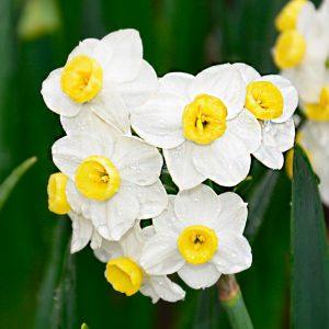 Narcisse Pluriflore Avalanche