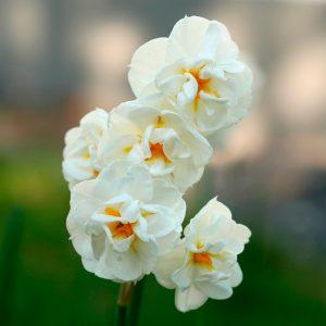 Narcisse Pluriflore Cheerfulness