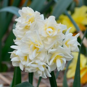 Narcisse Pluriflore Erlicheer