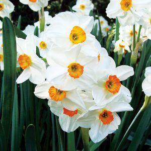 Narcisse Pluriflore Geranium