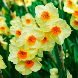 Narcisse Pluriflore Scarlet Gem