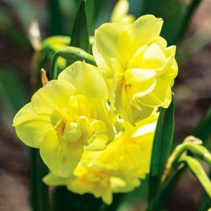 Narcisse Pluriflore Yellow Cheerfulness