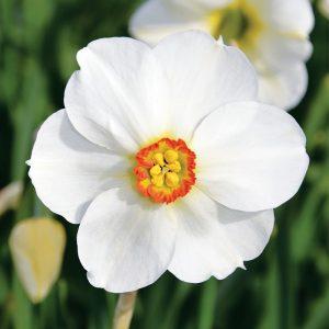 Narcisse Poeticus Actaea (Narcisse Des Poètes)