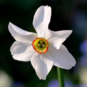 Narcisse Poeticus Recurvus