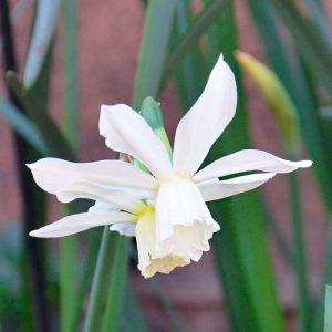 Narcisse Triandrus Petrel