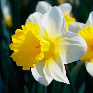 Narcisse Trompette Goblet