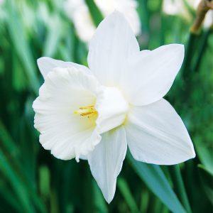 Narcisse Trompette Mount Hood