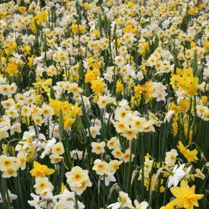 Narcisses en mélange