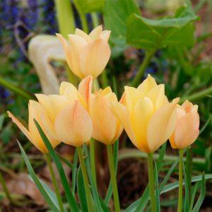 Tulipe botanique Batalinii Bright Gem
