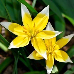 Tulipe botanique dasystemon (Tarda)