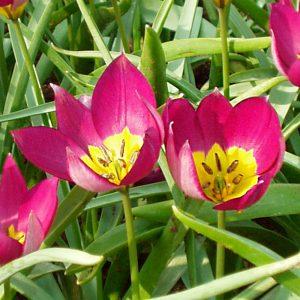 Tulipe botanique Persian Pearl