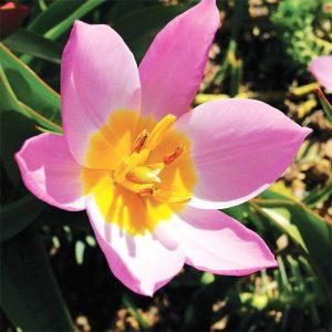 Tulipe botanique Saxatilis