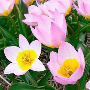 Tulipe botanique saxatilis Lilac Wonder