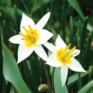 Tulipe botanique Turkestanica