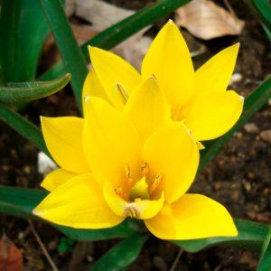 Tulipe botanique urumiensis