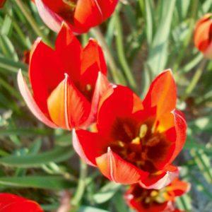 Tulipe botanique Whittallii
