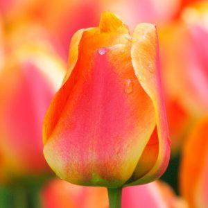 Tulipe Darwin Hybride Apeldoorn's Elite
