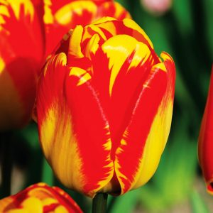 Tulipe Darwin Hybride Banja Luka