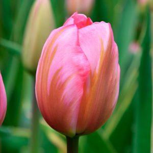 Tulipe Darwin Hybride Design Impression