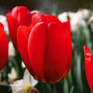 Tulipe Darwin Hybride Parade