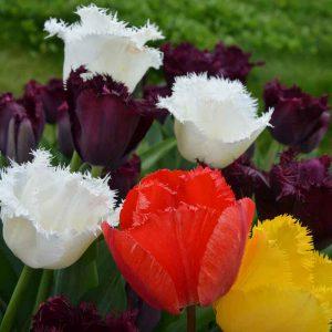 Tulipes Dentelles en mélange