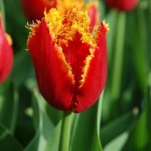 Tulipe Dentelle Fabio