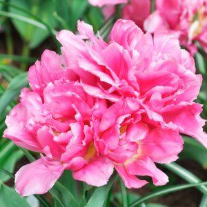 Tulipe Double Hâtive Dior
