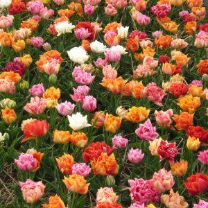 Tulipe Double Hâtive en mélange