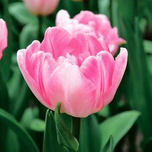 Tulipe Double Hâtive Foxtrot
