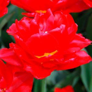 Tulipe Double Hâtive Largo