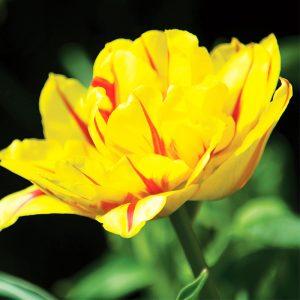 Tulipe Double Hâtive Monsella