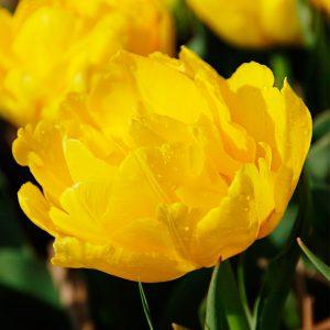 Tulipe Double Hâtive Monte Carlo