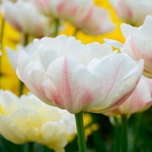 Tulipe Double Hâtive Montreux