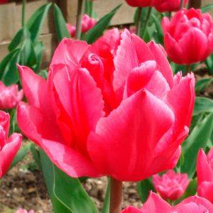 Tulipe Double Hâtive Queen of Marvel