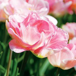 Tulipe Double Tardive Angélique