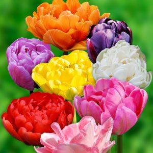 Tulipe Double Tardive en mélange