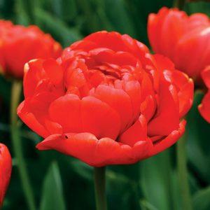 Tulipe Double Tardive Miranda