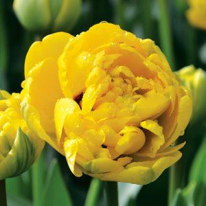 Tulipe Double Tardive Yellow Pomponette