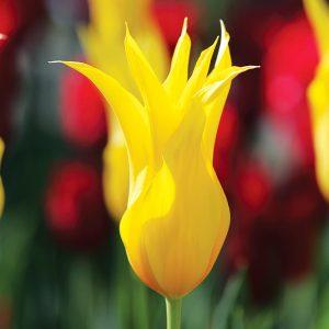Tulipe Fleur de lis West Point